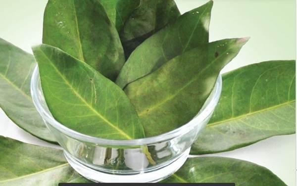 Image result for manfaat tumbuhan salam