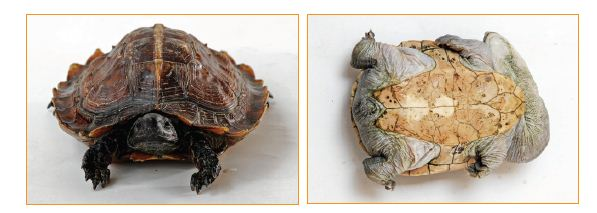 Cara Mengetahui Jenis Kelamin Kura-kura