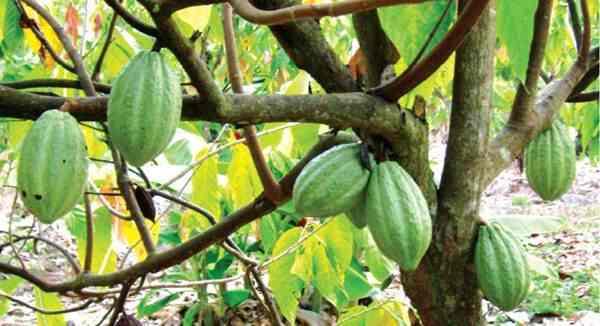 Pembibitan Pohon Pelindung Tetap Tanaman Cokelat