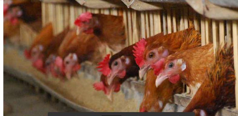 Mengenal Lebih Jauh Ayam Elba