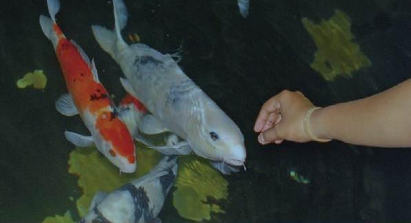 Inilah yang Wajib Kamu Ketahui Sebelum Memelihara Ikan Hias