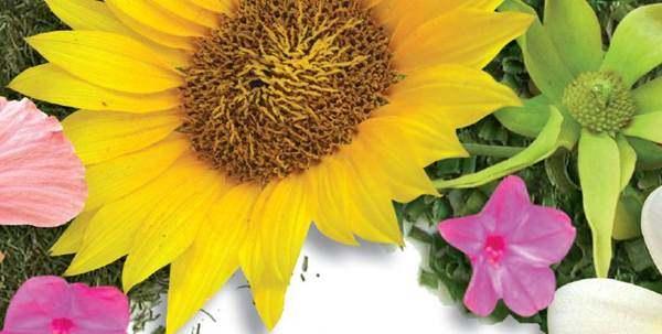 Khasiat Bunga Matahari (Helianthus annus)