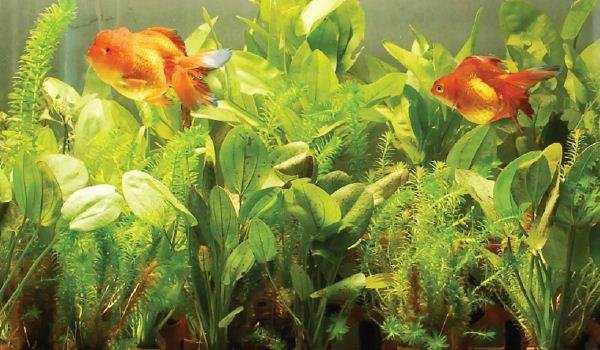 Membeli Ikan Hias via Internet