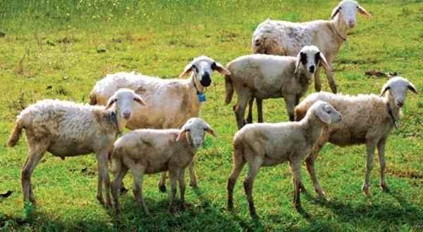 Sejarah beternak Domba