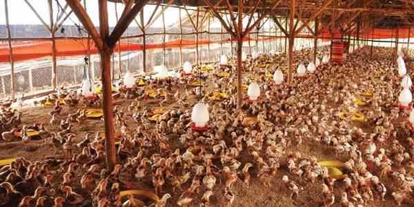 Ayam Pada Musim pancaroba