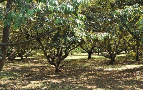 Panen Durian 100 Buah per Pohon