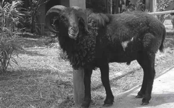 Pemeliharaan induk Domba bunting