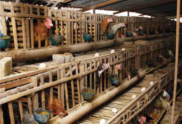 Perhatikan Jumlah Ayam untuk Peremajaan Sesuai dengan Kandang yang Tersedia