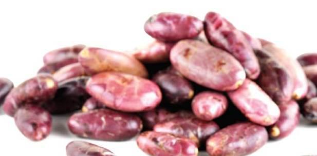 Standar Produksi Benih Kakao