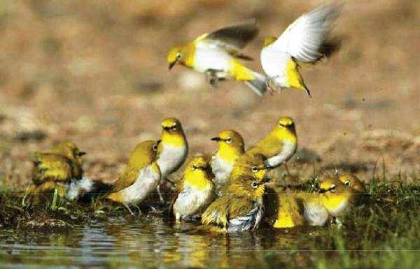 Kebiasaan Hidup dan Pakan Alami Burung Pleci
