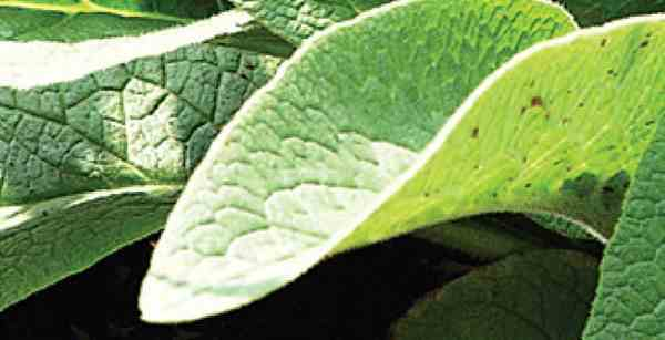 Mengenal Tanaman Herbal Komfrey