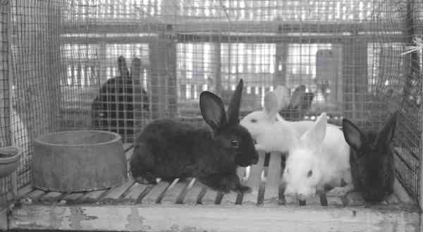 Menyapih Anak Kelinci