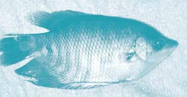Pembesaran Ikan Gurami Di Kolam
