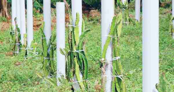 Perbanyakan Vegetatif Tumbuhan Naga