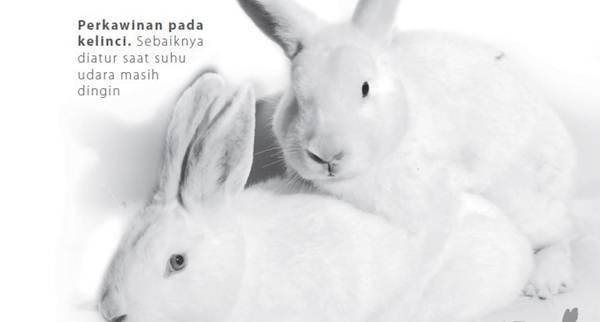 Proses Perkawinan Kelinci