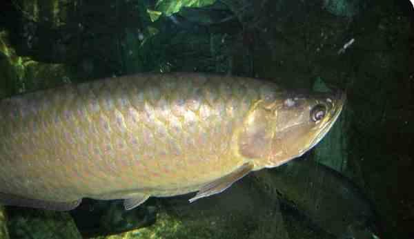Mengenal Arwana Spotted Baramundi