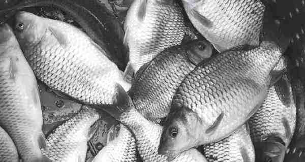 Wadah Pembesaran Yang Cocok Untuk Ikan Mas