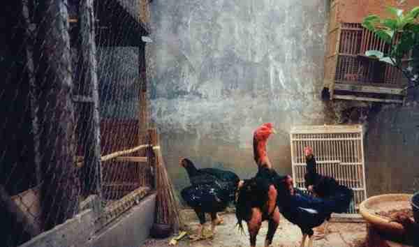 Ayam Buras dan Ayam Kampung