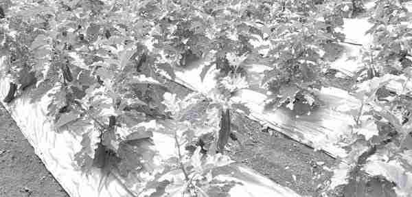 Bertanam terung