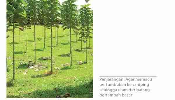 Fase pertumbuhan Generatif Tanaman Jati