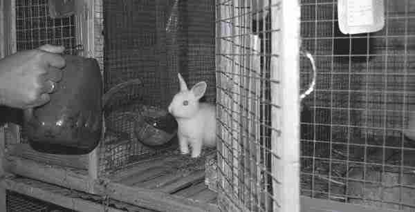 Memberikan Pakan Kelinci
