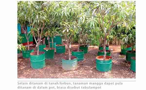 Menanam Mangga dalam Pot