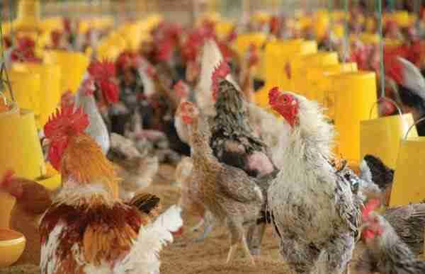 Mengenal Ayam Pelung
