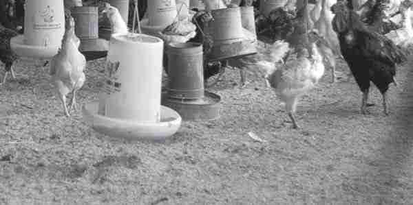 Mengorganisasikan Peternakan Ayam