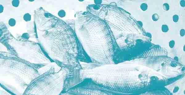 Pembenihan Ikan Nila Di Kolam 400 m2