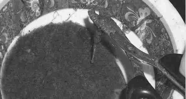 Pemberian Pakan Larva Patin