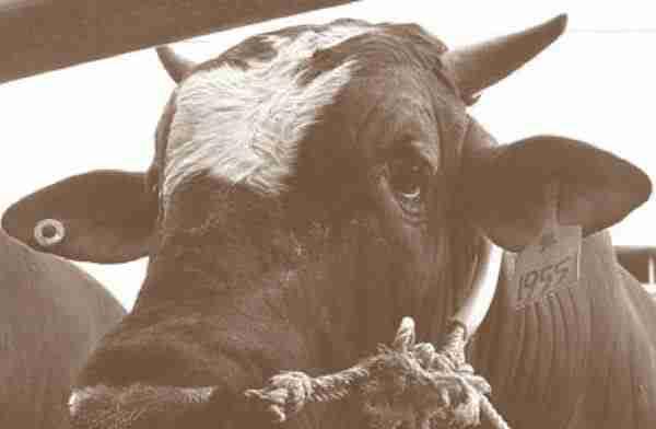 Pembibitan sapi potong