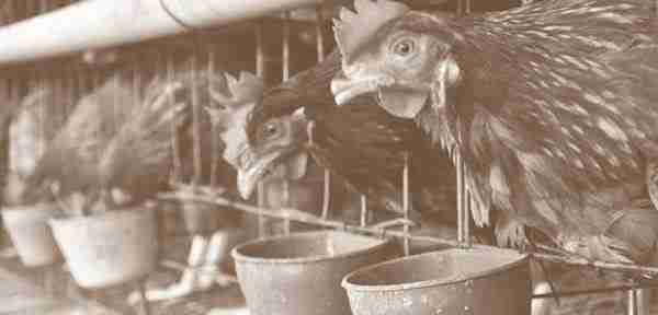 Pemeliharaan 1000 ekor ayam ras petelur