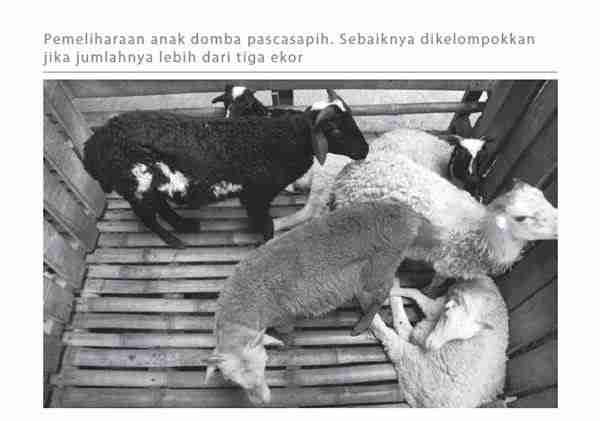 Pemeliharaan Anak Domba Pascasapih