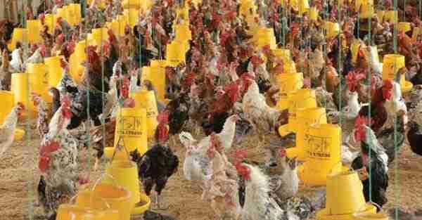 Pemeliharaan Ayam Kampung Petelur