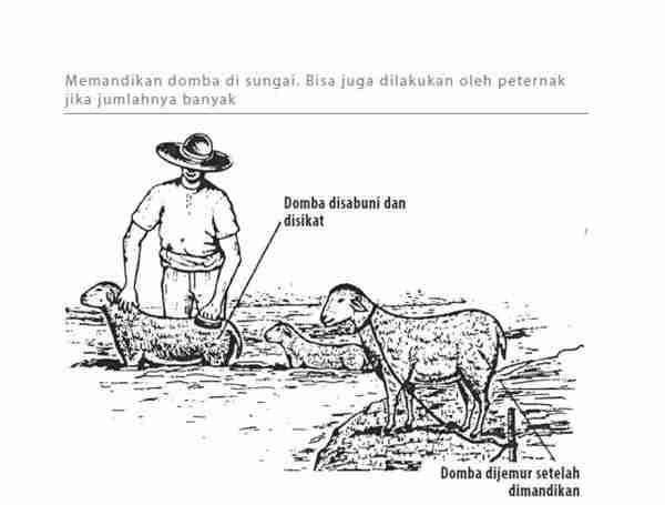 Pemeliharaan Domba Dewasa