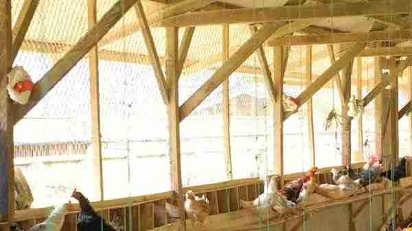 Penempatan Kandang Ayam