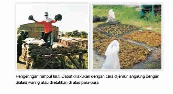 Pengeringan Rumput Laut