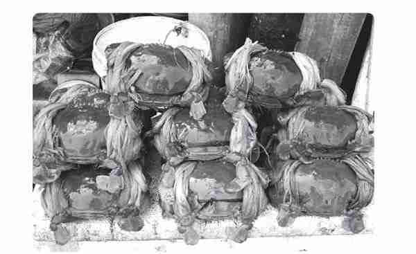 Penggemukan Kepiting 600 ekor di Tambak
