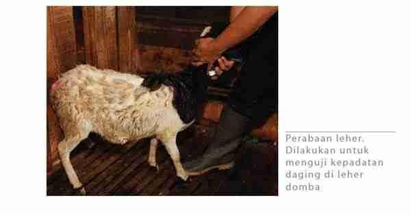 Perabaan Domba