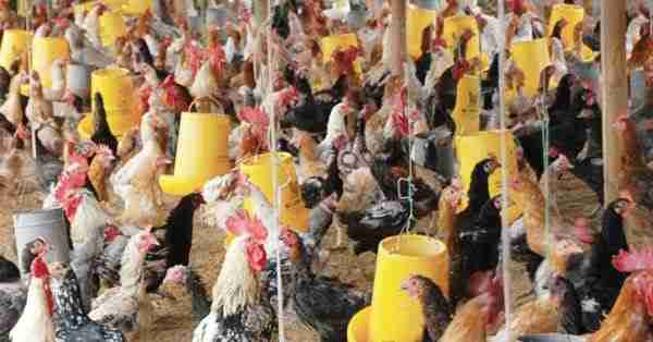 Seputar Pentingnya Pakan Ayam