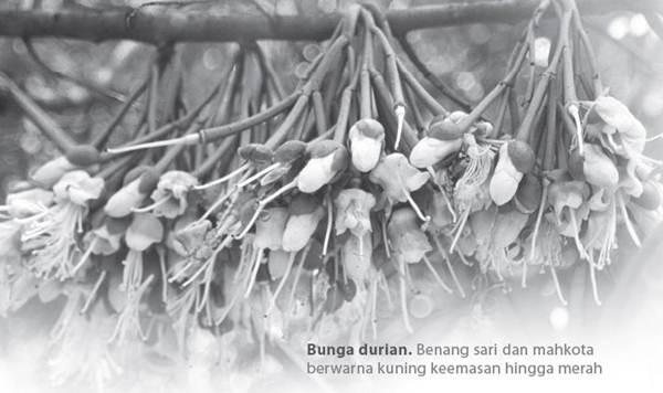 Sifat Botani Durian