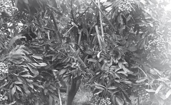 Sifat botani Lengkeng