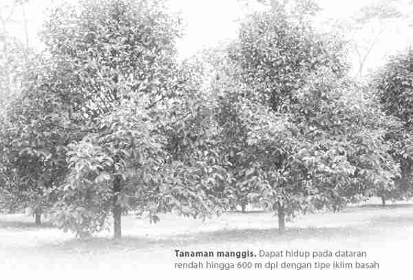 Sifat botani Manggis