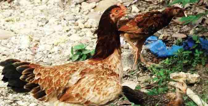 Sistem Ekstensif Pemeliharaan Ayam