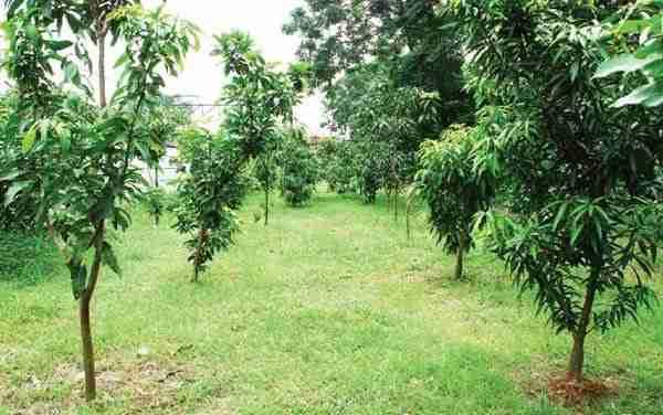 Tanaman Sela Pohon Mangga