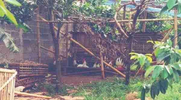Tujuan Beternak Ayam Kampung