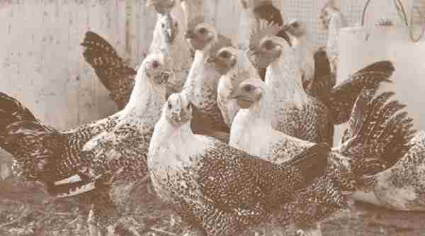 Usaha 1000 ekor Ayam Arab Petelur