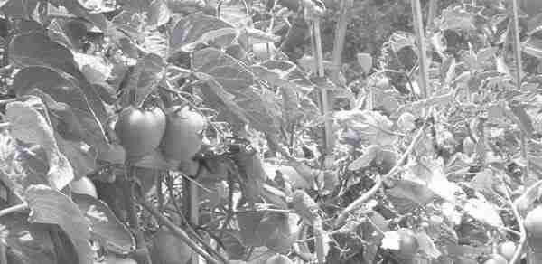 Waktu dan Cara Tanam Tanaman Tomat