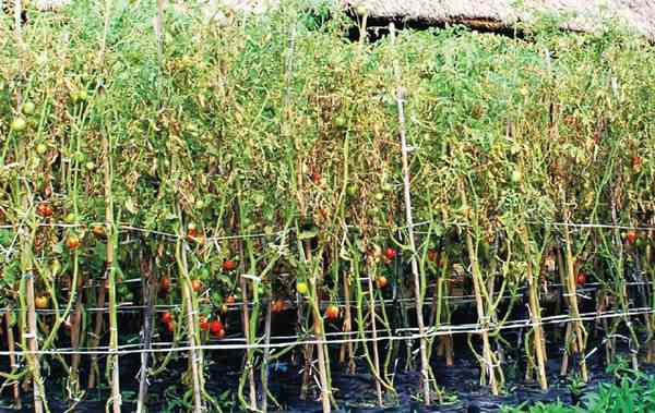 Aspek Biologi Tomat