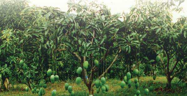 Kondisi Tanah Tanaman Mangga